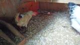 Legehybriden müssen Eier legen, ob sie wollen oder nicht