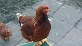 Bertha - mittlerweile unsere älteste Henne